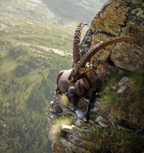 on the edge mountain goat
