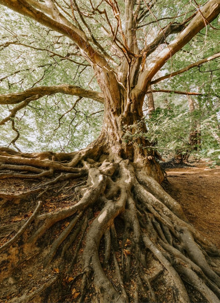 Tree with massive root structure.