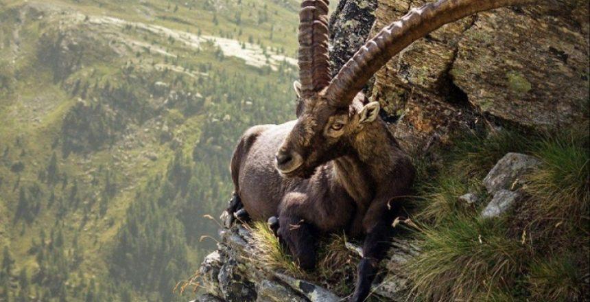 on the edge mountain goat